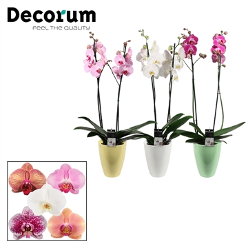 Phalaenopsis 2 tak mix in Carly Easter mix (Deco-collection)