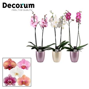 Phalaenopsis 2 tak mix in Pearl romance mix (Decorum)