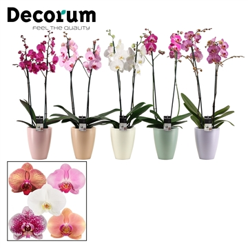 Phalaenopsis 2 tak mix in Carly (Dream Spirit-collection)