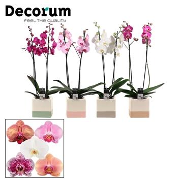 Phalaenopsis 2 tak mix in Qube (Dream Spirit-collection)