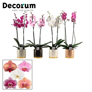 Phalaenopsis 2 tak mix in Sparkle (Glam Empire-collection)
