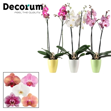 Phalaenopsis 2 tak mix in Carly Easter mix met paasei (Deco-col.