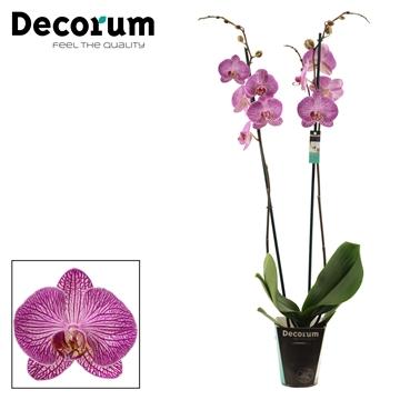 Phalaenopsis 2 tak Budapest (Decorum)