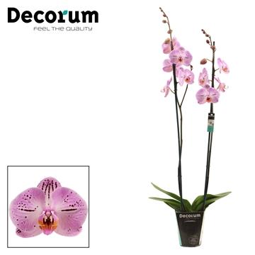 Phalaenopsis 2 tak Cassie (Decorum)