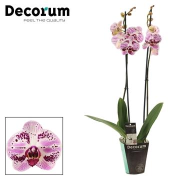 Phalaenopsis 2 tak Euphorion (Decorum)