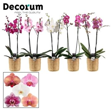 Phalaenopsis 2 tak mix in Yuki mand (Deco-collection)