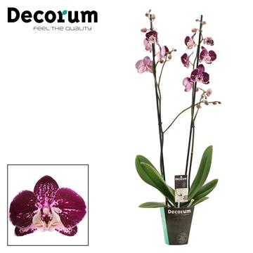 Phalaenopsis 2 tak Bright Smile (Decorum)