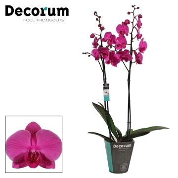 Phalaenopsis 2 tak Evolution (Decorum)
