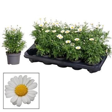 Argyranthemum - 10,5 cm - white
