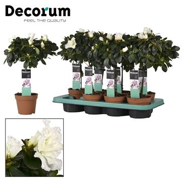 Azalea 12 cm stam Wit - Decorum