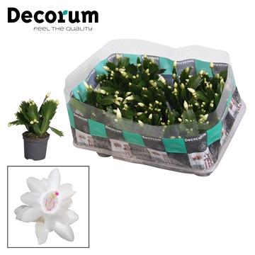 Schlumbergera - 7 cm - White (Malissa) - Decorum