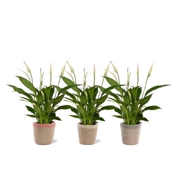 Spathiphyllum 12 cm Torelli in Jelle mand - Soft Illusion