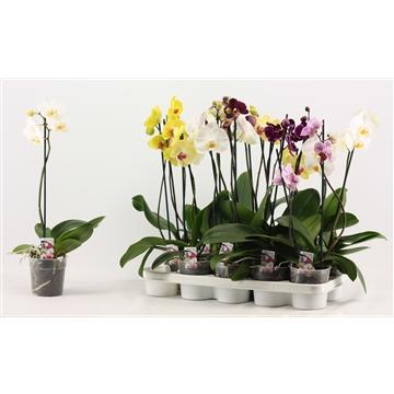 Phalaenopsis 3+ bloem A2