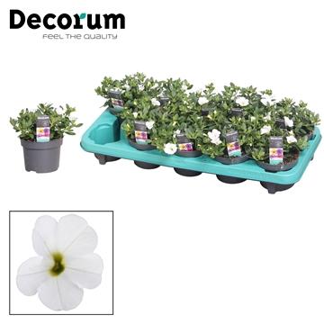 Calibrachoa - 10,5 cm - Uno White - Decorum