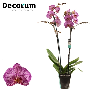 Phalaenopsis 2 tak Flirtation (Decorum)