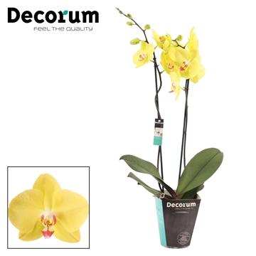 Phalaenopsis 2 tak Fuller Sunset (Decorum)