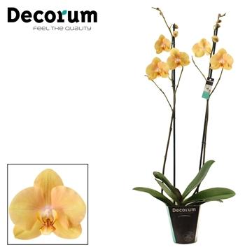 Phalaenopsis 2 tak Golden Treasure (Decorum)