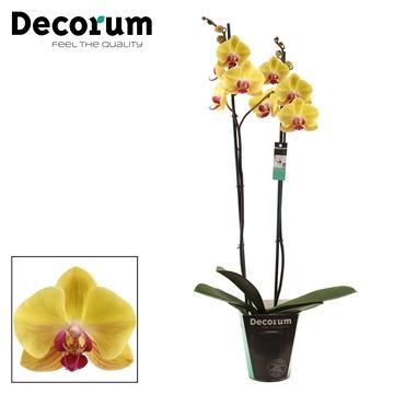 Phalaenopsis 2 tak Goldion (Decorum)