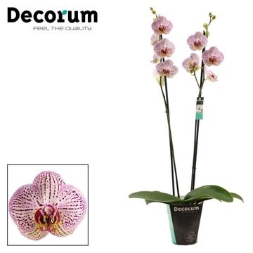 Phalaenopsis 2 tak Invention (Decorum)
