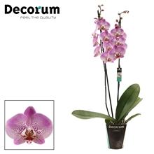 Phalaenopsis 2 tak Jillion (Decorum)