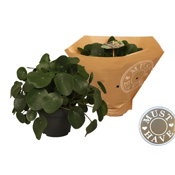 Pilea peperomioides 'must have'