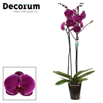 Phalaenopsis 2 tak Joyride (Decorum)