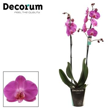 Phalaenopsis 2 tak Las Palmas (Decorum)