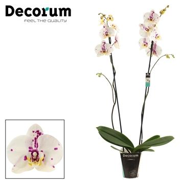 Phalaenopsis 2 tak Kellion (Decorum)