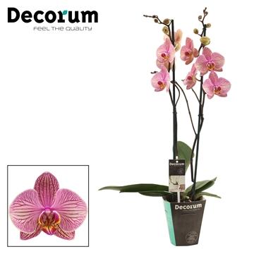 Phalaenopsis 2 tak Jupiter (Decorum)