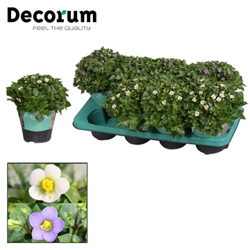 Exacum affine - 13 cm - Mix met FEEL potcover - Decorum