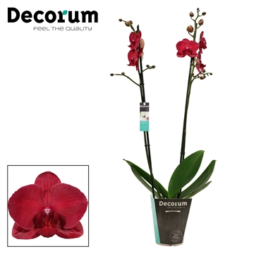 Phalaenopsis 2 tak Montreux (Decorum)