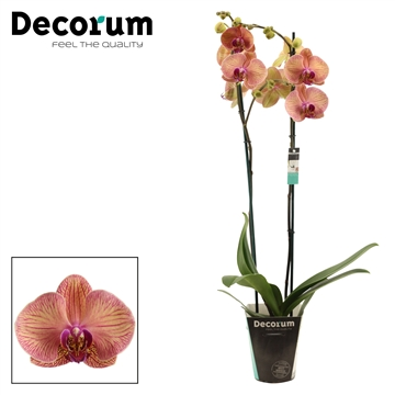 Phalaenopsis 2 tak Orangina (Decorum)