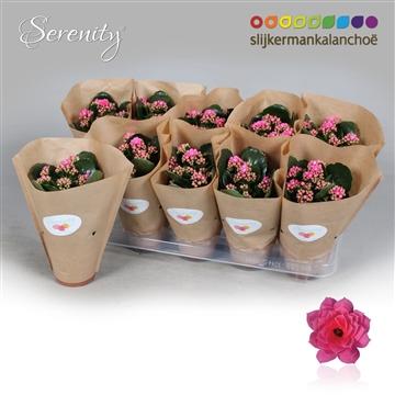 Kalanchoë Papersleeve - Serenity Pink