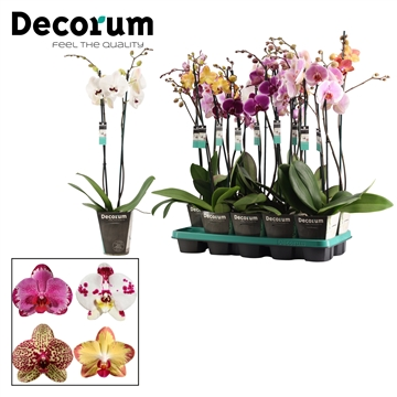 Phalaenopsis 2 tak special mix (Decorum)