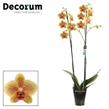 Phalaenopsis 2 tak Pulsation (Decorum).