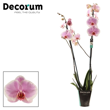 Phalaenopsis 2 tak Romance (Decorum)