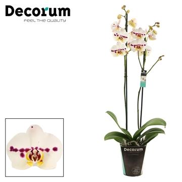 Phalaenopsis 2 tak Spottion (Decorum)
