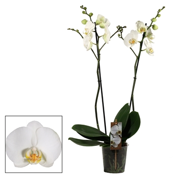 Phalaenopsis 2 tak wit