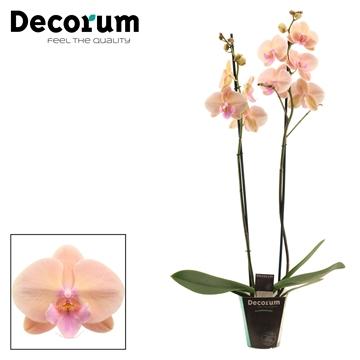 Phalaenopsis 2 tak Pastello Kiss (Decorum)