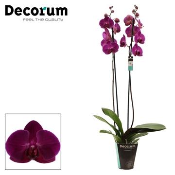Phalaenopsis 2 tak Stellenbosch (Decorum)