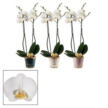 Phalaenopsis 2 tak wit in Femke met kerstballen (Passion)