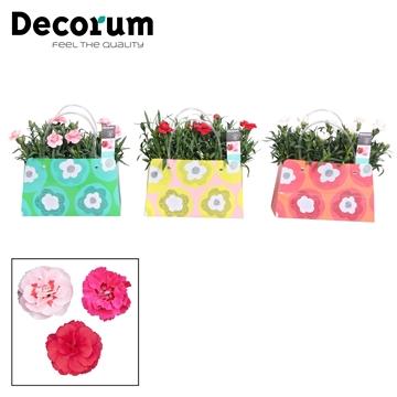 Dianthus - 10,5 cm - Oscar mix in kleurrijke tas - Decorum