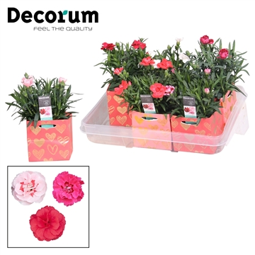 Dianthus - 10,5 cm - Oscar mix Affection - Decorum