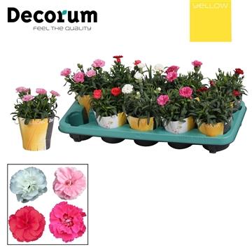 Dianthus - 10,5 cm - Oscar mix met YELLOW potcover - Decorum