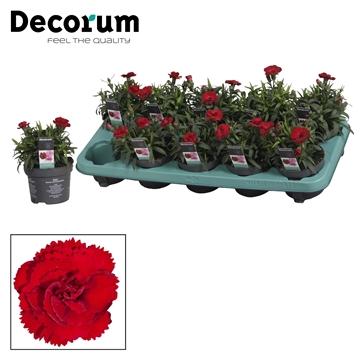 Dianthus - 10,5 cm - Oscar Dark Red - Decorum