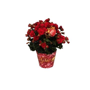 Winterbegonia ''Grace''rood in kerstcover 14cm