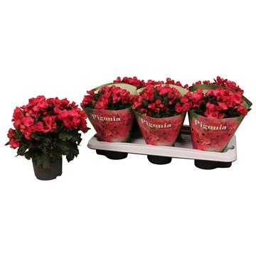 Begonia ''pigonia'' 13cm