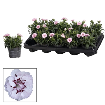 Dianthus - 10,5 cm - Oscar Pink and Purple