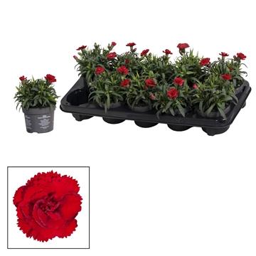Dianthus - 10,5 cm - Oscar Dark Red