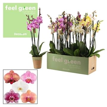 Phalaenopsis 3 tak mix 70 cm (Feel Green)